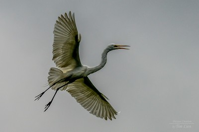 Fossilized Egret