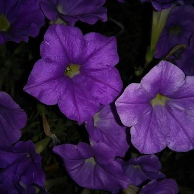 #flowers #shot #in #the#dark #pretty #purple#camera #photographers #photo#Be