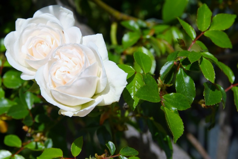 Climbing Rose in Market grounds