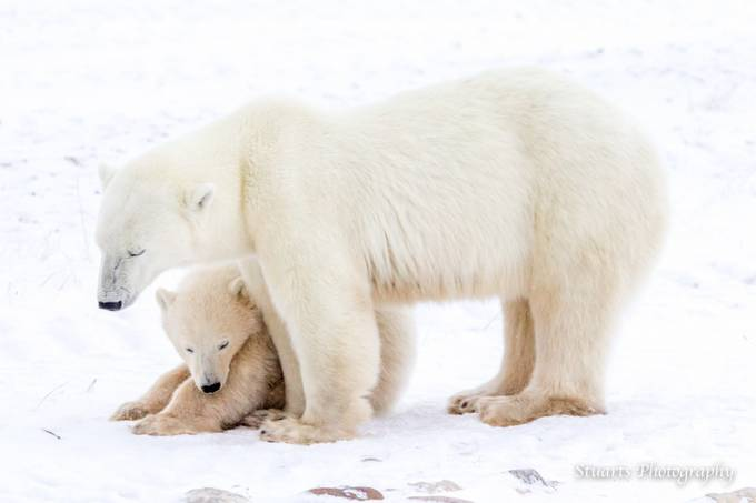 Polar Bear Mum looking after her cub by stuartjamieson - Bears Photo Contest