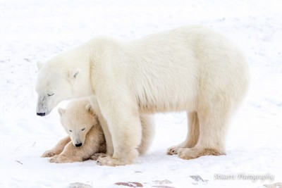 Polar Bear Mum looking after her cub