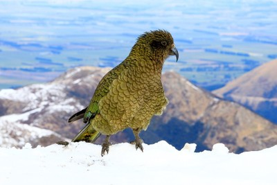 Kea - New Zealand's Alpine Parrot At Mt Hutt Skifield (02)
