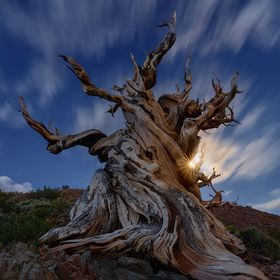 The Ancient Bristlecone Pine Forest that is 5000 years old tree located in the oldest forest in the world (Pine Forest White Mountains, CA.). One...