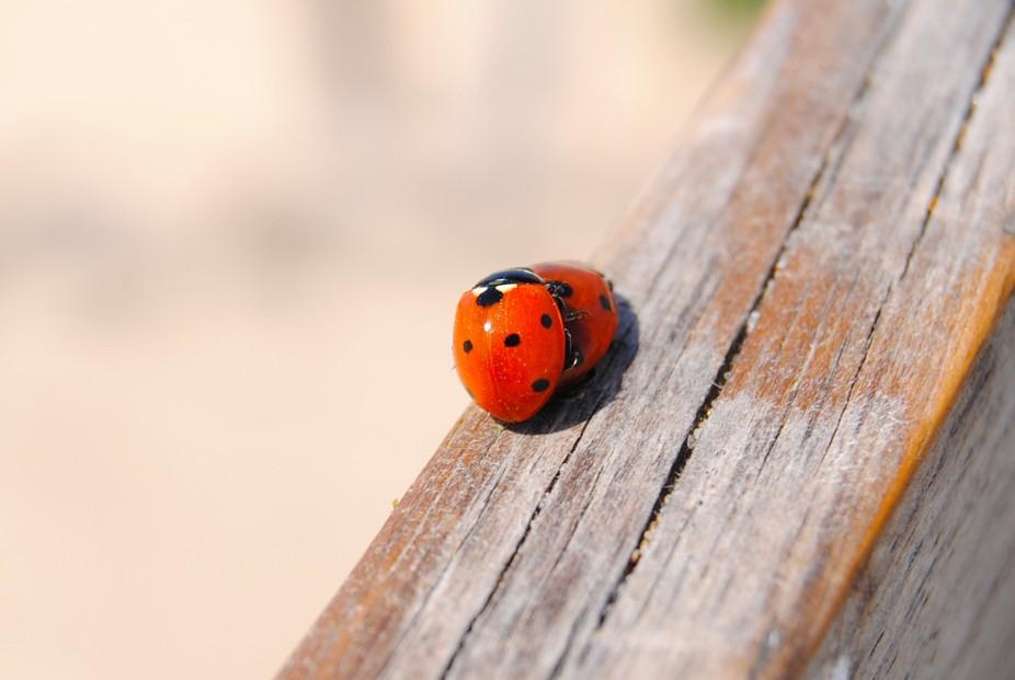Ladybug's