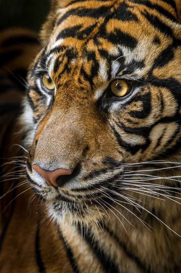Sumatran Tiger by JuniperJones - Celebrating Nature Photo Contest Vol 4