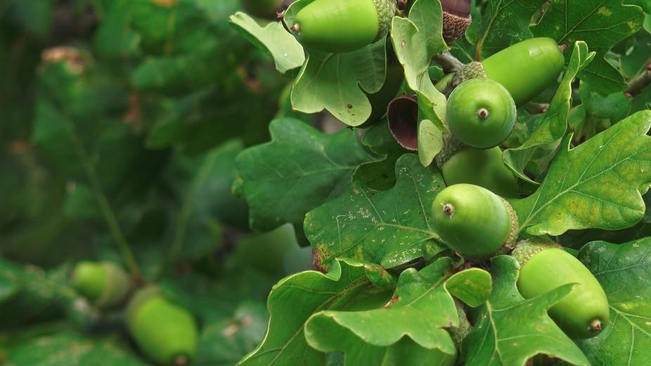 Acorns on Oak Tree close-up