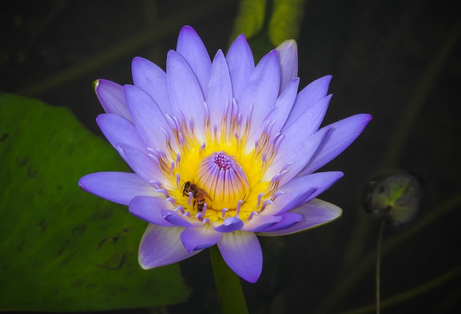 water lily bee #2
