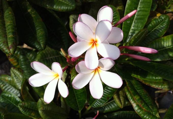 Plumeria: fragrant beauties with hearts of gold!
