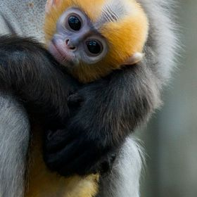 Safe in mum's arms, close up of a baby Dusky Langur monkey