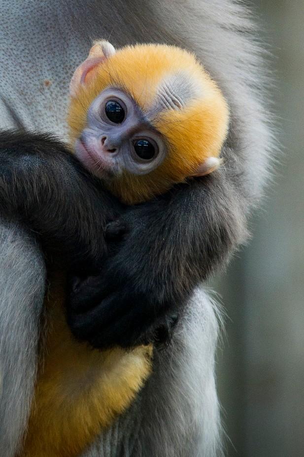Baby Dusky Langur by SteveCrampton - Monthly Pro Vol 17 Photo Contest