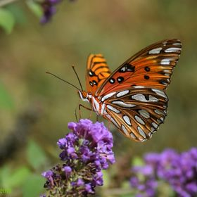 This is a Gulf Fritillary Butterfly on a miniature Butterfly Bush (Buddleia hybrid-- called LO & Behold Blue Chip).