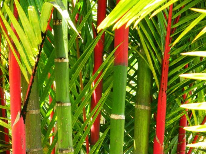 Bamboo seems to come in every shade of green and gold, but the red is my all-time favorite.
