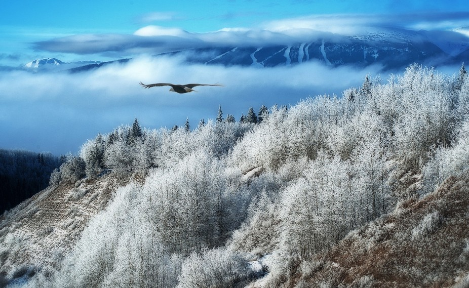 Bald eagle soaring over Driftwood Creek Canyon east of Smithers BC.