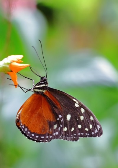 Butterfly feeding - heleconion hecale