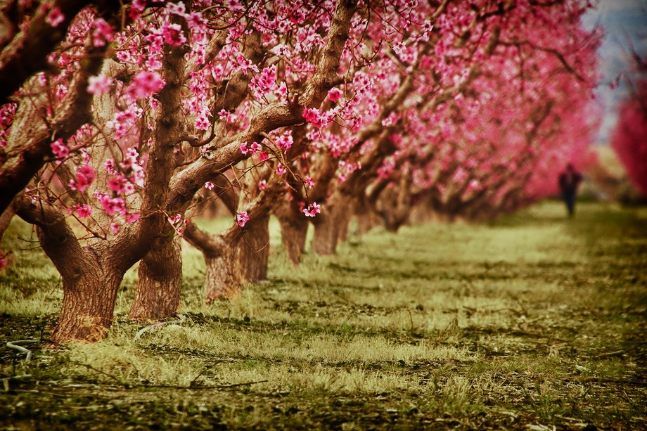 A Walk Among the Blossoms