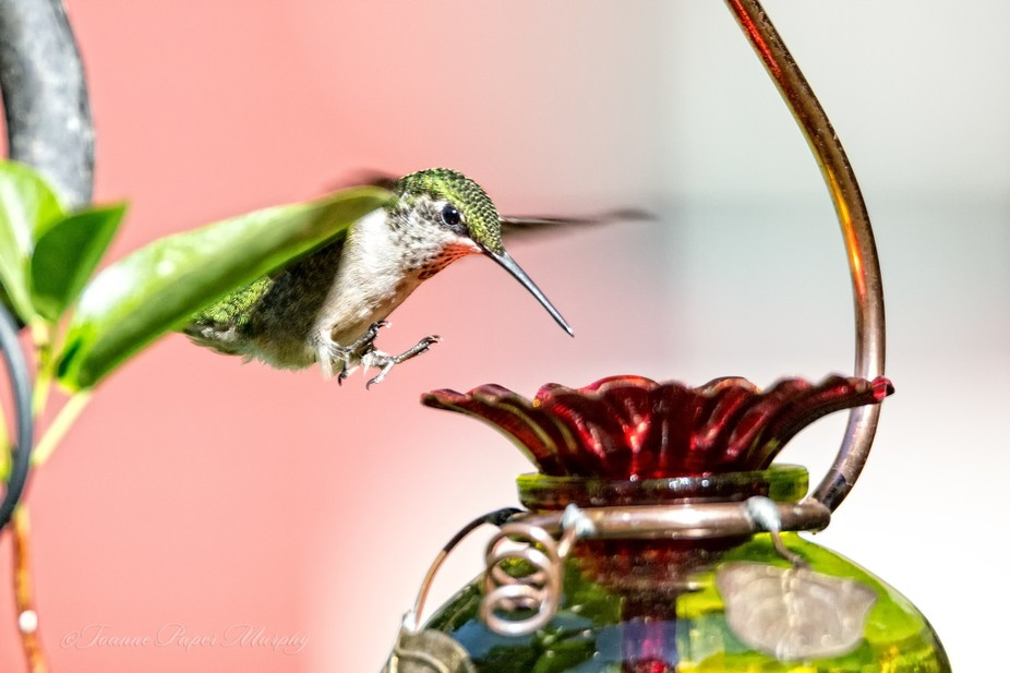 This young male Ruby Throated hummingbird was going for a landing with claws outstretched.