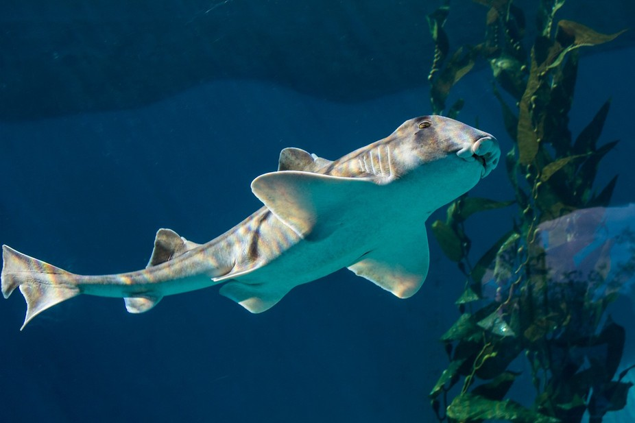 Port Jackson Shark.