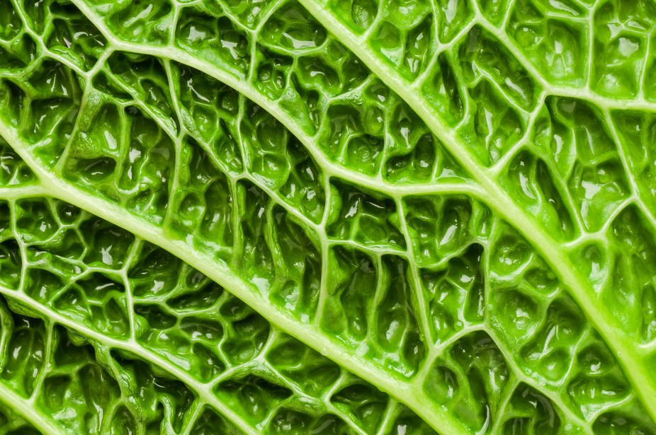 Detail of blanched savoy cabbage leaf. It reminded me of a healthy micro landscape on my plate!