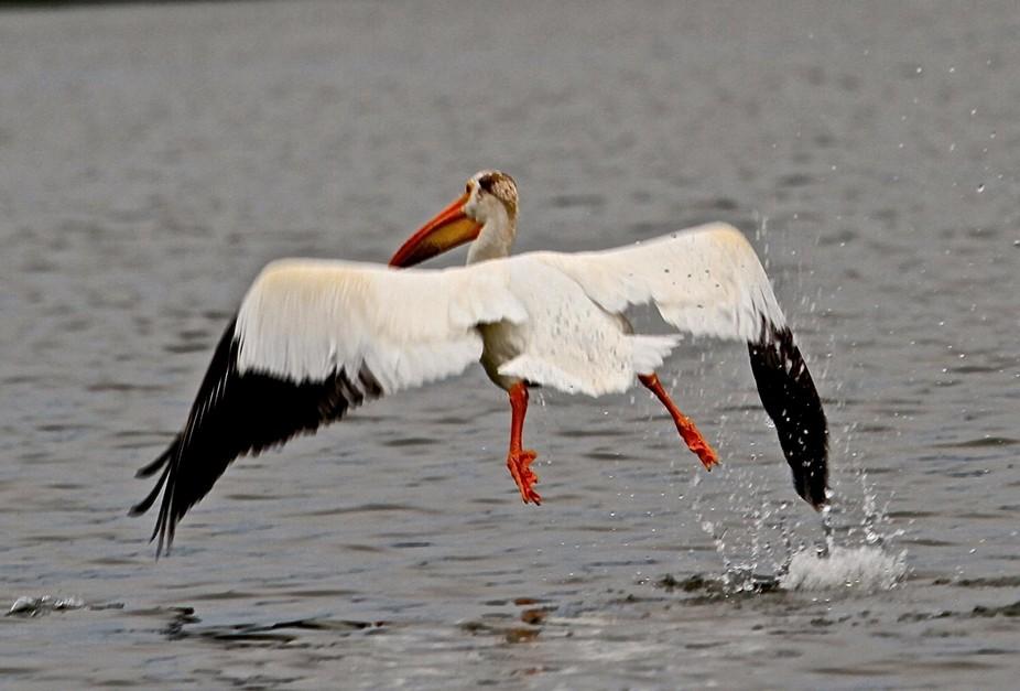 Pelican action shot.
