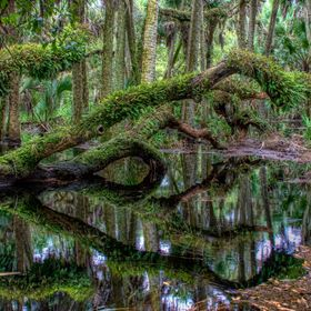 Fern covered live oak trees reflect on the flooded forest floor in Myakka River State Park.