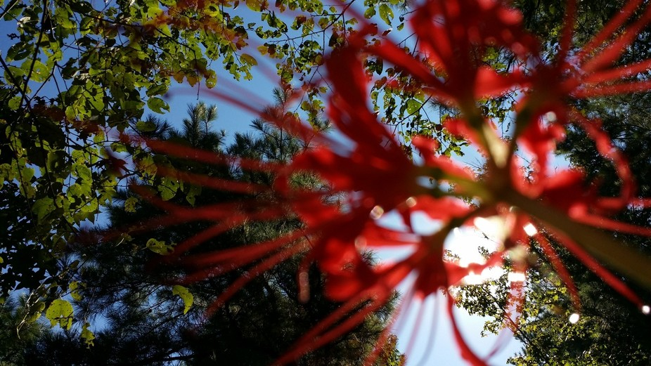 Underside of a Spider Lily.