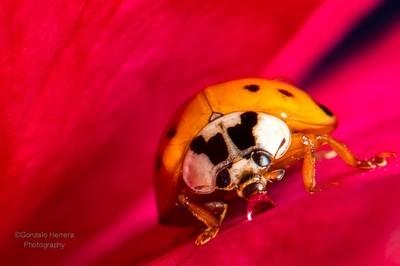 Ladybug, and water drop