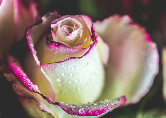 Rose with Dew by CPonsell - Macro Water Drops Photo Contest