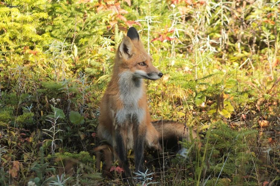 Red fox Friend