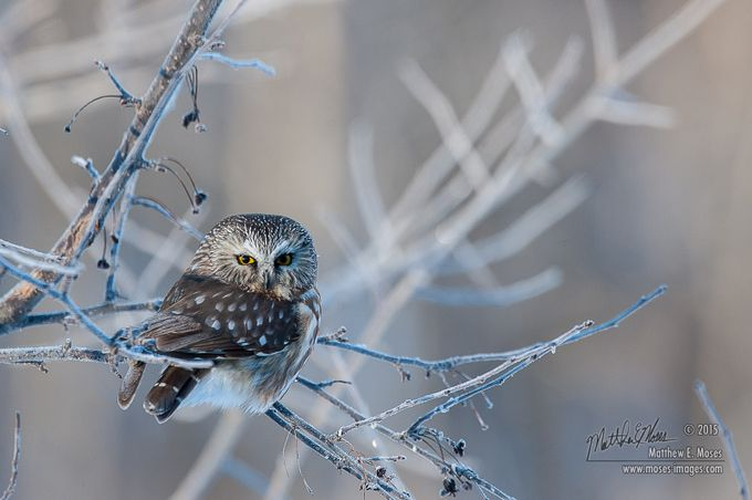 Northern Saw Whet Owl by mosesimages - Only Owls Photo Contest