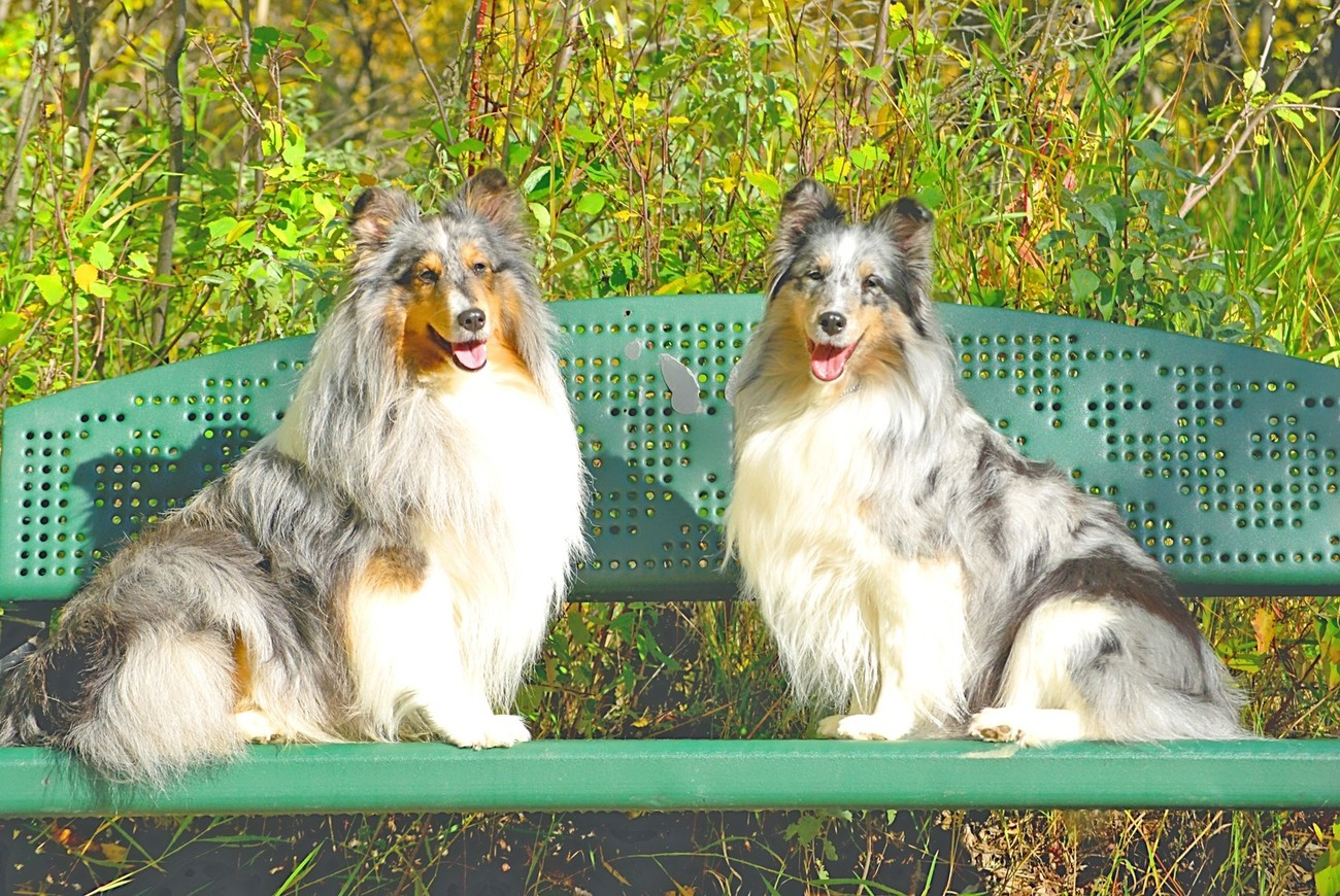 Champion Shelties on a Bench