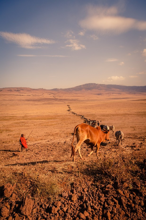 Maasaï boy dealing with massive cow jam by JADUPONT - Cultures of the World Photo Contest