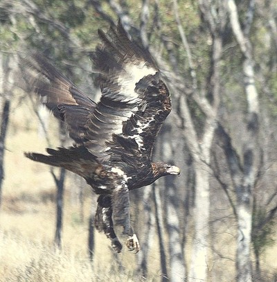 Wedged Tail Eagle Flew In Front of Our Car in Queensland