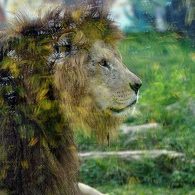Lion and Glass