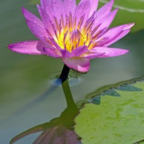 A beautiful water-lily reflecting in the pond near the Art and Science museum in Singapore.