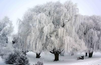 weeping winter's fog