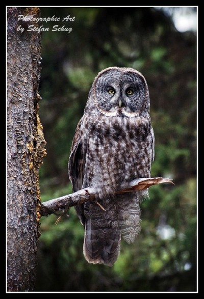 Great Grey Owl!
