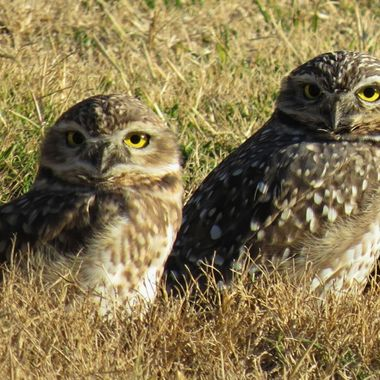 Owls in Argentina