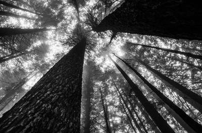 redwoods in the mist