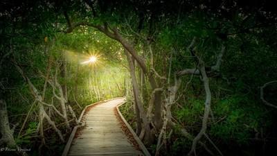 The light thru the mangrove