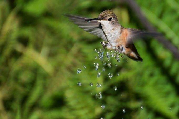 fly-n-wash by jimspics - Hummingbirds Photo Contest