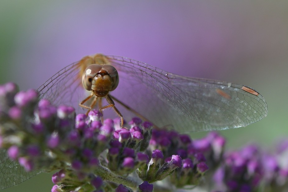 Every fall, our gardens are full of small Autumn Meadowhawks, enjoying the last days of warm weather