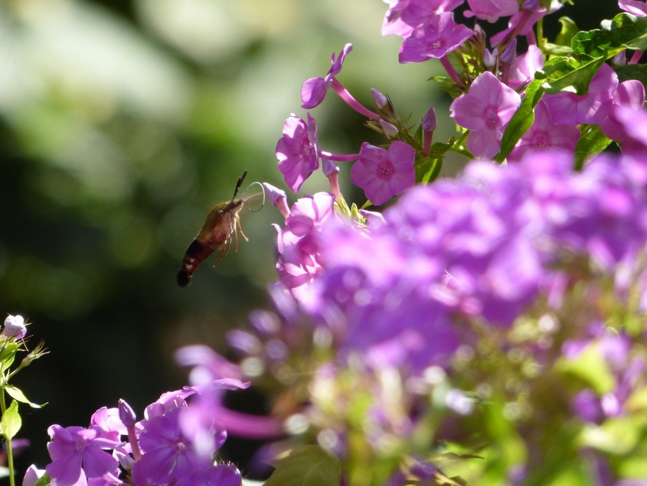 Humming Moth with Purple Flowers