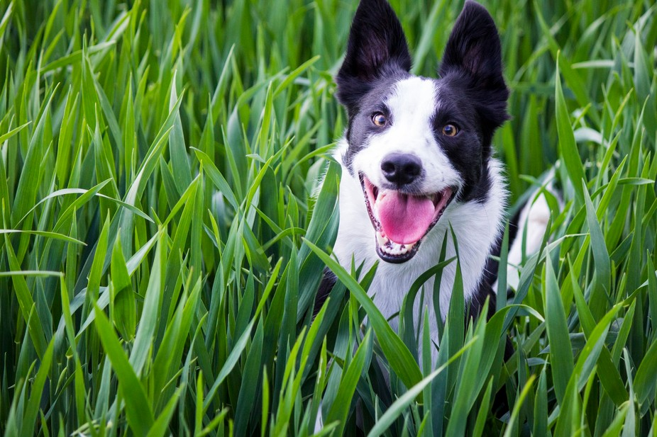 Racing around in the long grasses in a field near home he had to keep jumping to see over the top...