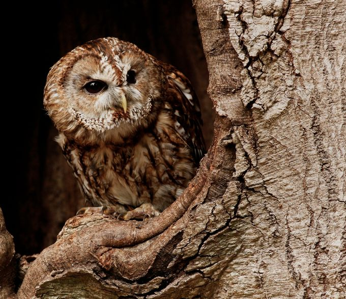 _MG_8475 by davewx - Beautiful Owls Photo Contest