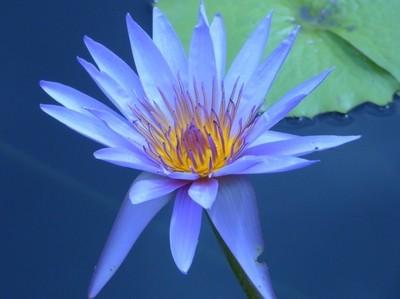 Blue Waterlily Macro