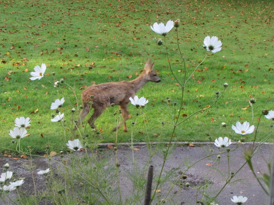 These 2 fawns walked out of the trees this morning, across the front lawn , almost to the front d...