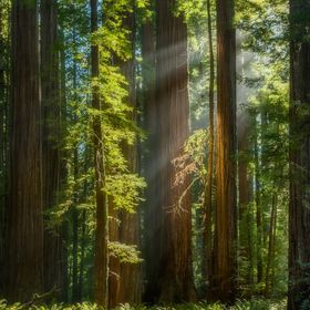 Light streams through the rich Redwood forest in Northern California