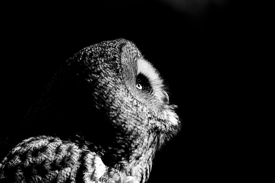 Great grey owl profile in black and white