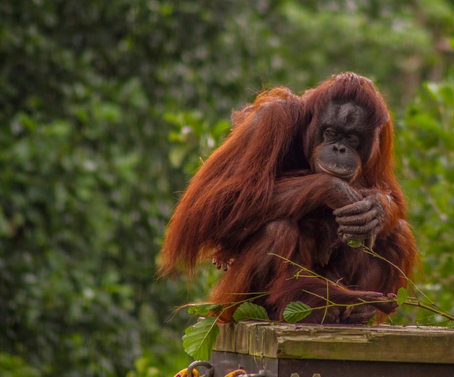 Orang-utan at Paignton Zoo.