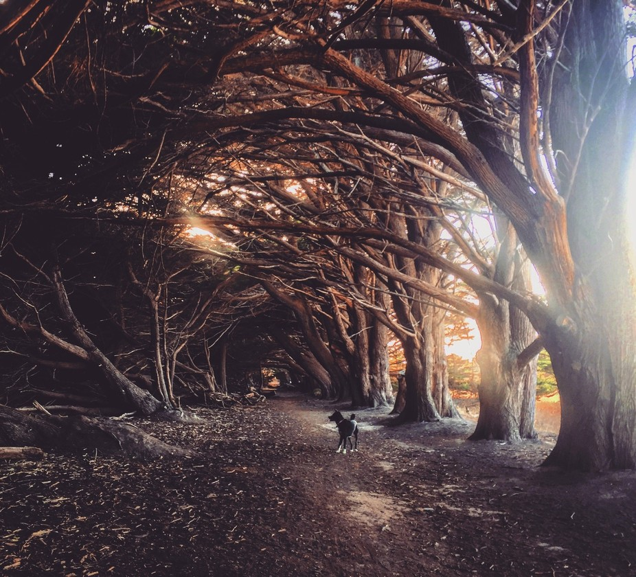 Magical forest in Northern California, the trees have been bent like that by the fierce winds the...